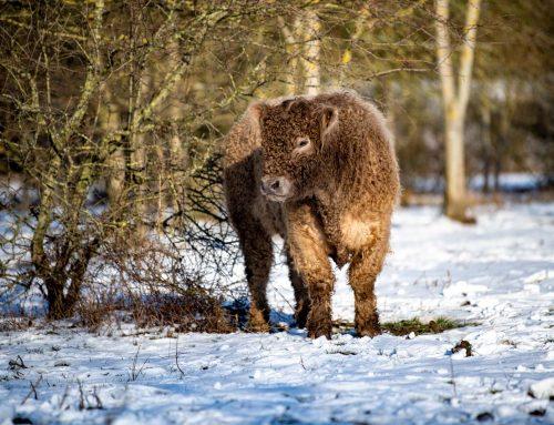 Naturschutzpflege auf vier Beinen nähe Neustadt